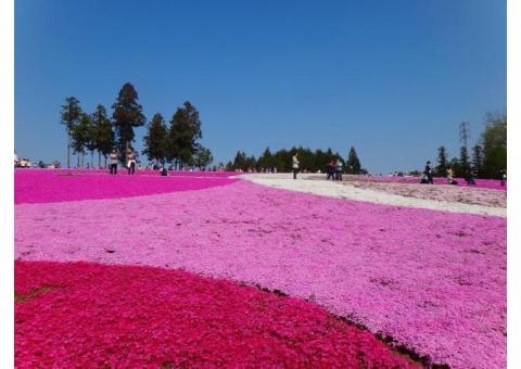 【ご近所さん歓迎】埼玉県秩父市大宮の羊山公園の芝桜の体験共有