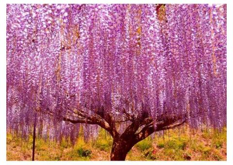 【ご近所さん歓迎】兵庫県丹波市市島町白毫寺の藤の体験共有