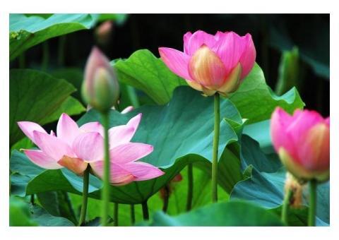 【ご近所さん歓迎】滋賀県草津市下物町の烏丸半島の蓮の体験共有