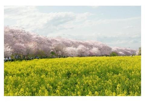 【ご近所さん歓迎】埼玉県幸手市内国府間の幸手権現堂堤の菜の花・桜体験共有