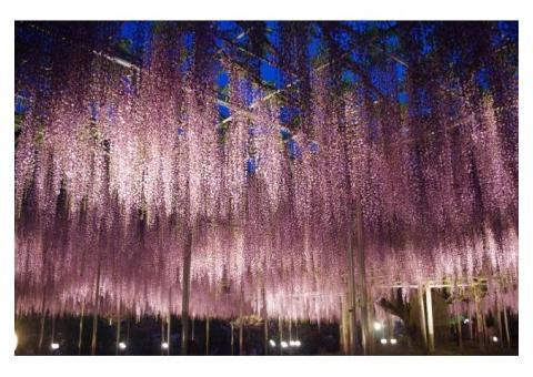 【ご近所さん歓迎】 栃木県足利市 迫間町のあしかがフラワーパークの体験共有