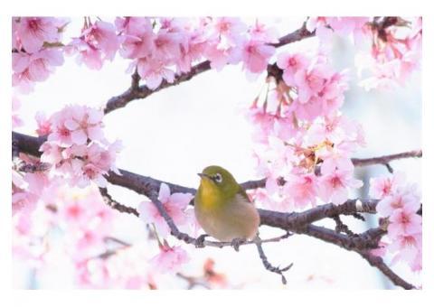 【ご近所さん歓迎】静岡県賀茂郡河津町の河津桜の体験共有